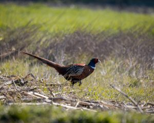 Read more about the article Pheasants