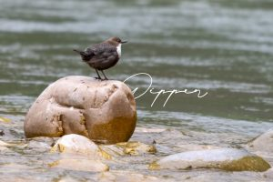 Read more about the article Dipper